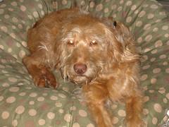 dog breed, animal, dog, schnoodle, boykin spaniel, pet, mammal, english cocker spaniel, spaniel, cockapoo,