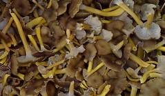 flower(0.0), jackfruit(0.0), shiitake(0.0), medicinal mushroom(1.0), mushroom(1.0), agaricaceae(1.0), produce(1.0), food(1.0), edible mushroom(1.0),