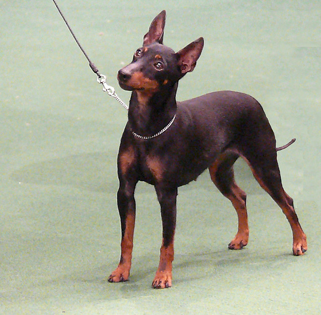 manchester toy terrier - photo #9