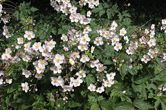 annual plant, blossom, flower, plant, wildflower, flora, rosa multiflora,
