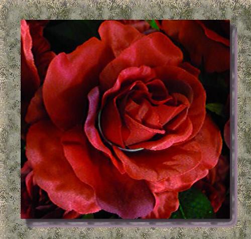 Oggi rose 2 - Today rose 2