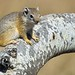 Smith's Bush Squirrel - Photo (c) Arno Meintjes, some rights reserved (CC BY-NC)