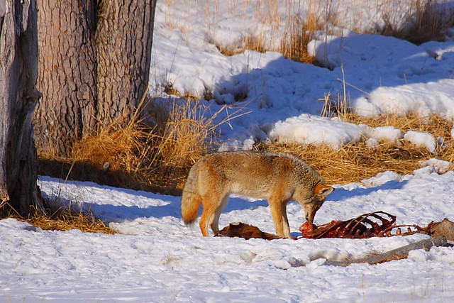 IMG_8541 Coyote Feeding on Carcass, National Elk Refuge