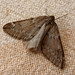 Small photo of March Moth. Alsophila aescularia.