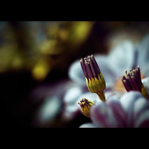 blue flower macro canon eos bokeh 100mm tokina bud usbg frontpage f28 500d dontletmedown t1i