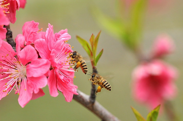 Peach Blossom and Honey honey bees