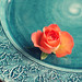 Orange rose on turquoise plate
