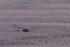 bird migration(0.0), animal migration(1.0), harrier(1.0), animal(1.0), prairie(1.0), bird of prey(1.0), wing(1.0), fauna(1.0), bird(1.0), flight(1.0), wildlife(1.0),