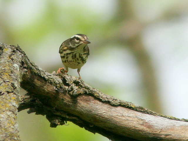 Louisiana Waterthrush 2-20100430