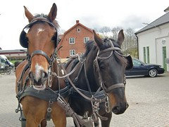 mare, stallion, rein, halter, bridle, pack animal, horse tack, horse, horse harness,