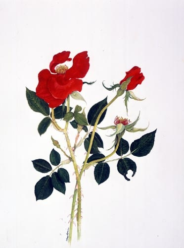 Mary Ryniec, Rosa 'Altissimo' Watercolor, 11/13/02 © Copyright Brooklyn Botanic Garden