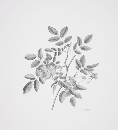 "Martha G. Kemp, Rosa pendulina, 2006.  Graphite pencil on Strathmore 500 2 ply, 14"" × 11"". © Copyright Brooklyn Botanic Garden"
