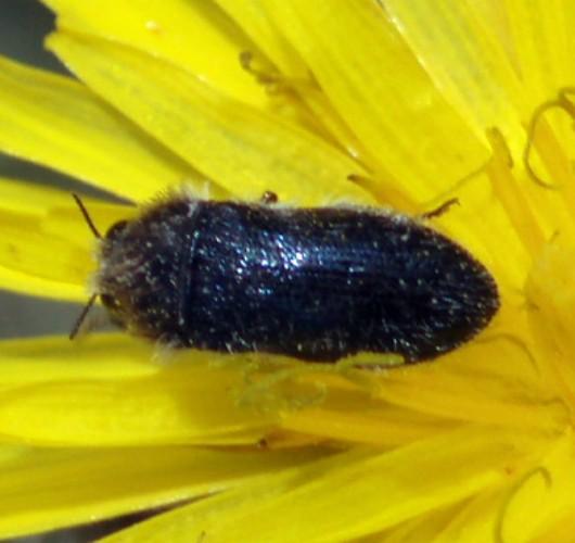 Acmaeoderella cyanipennis 4648829553_39c5a6a3b7_o