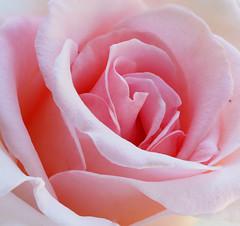 Rose-Elma