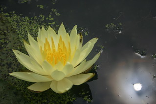 Sun and Waterlily