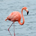Small photo of American flamingo Phoenicopterus ruber