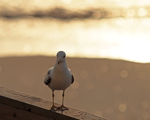 ocean beach bokeh gull © obx outerbanksnc sigma70200mmf28 nagsheadnc hbw garyburke e620 strongbacklighting somepeopleconsidergullspestnotme itmadeforastrangeexposureshot gullsareneverpests gullsjustwantahavefun