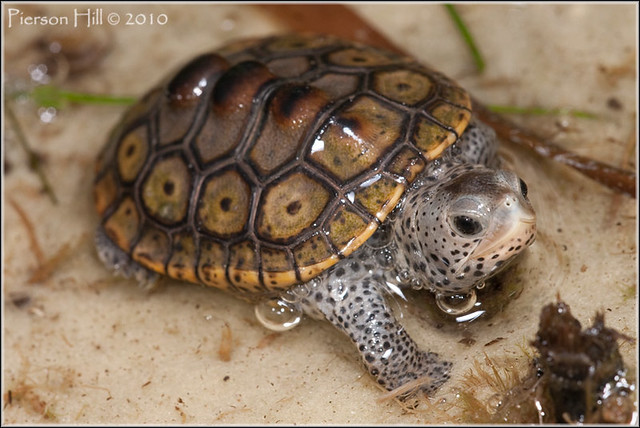 The Diamondback Terrapin Malaclemys terrapin