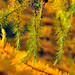 autumn fir tree
