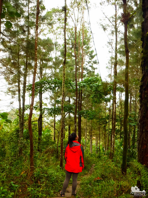 Pine pathway in Mt. Manunggal