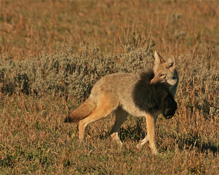 coyote and bear Predator hunting and calling superstore quality coyote, hog, and predator hunting electronic calls, mouth calls, night hunting lights, and hunting supplies and gear we offer fast shipping, great prices and knowledgeable staff.