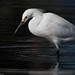 1 of 2 Snowy Egret (Egretta thula) in the CA State Park Marina, Morro Bay, CA 25 Dec 2009.