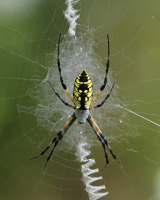 writing spider poisonous The spider species argiope aurantia is commonly known as the yellow garden spider, black and yellow garden spider, golden garden spider, writing spider, zigzag spider, corn spider, or mckinley spider.