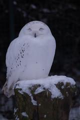 Schnee-Eule (Nyctea scandiaca)