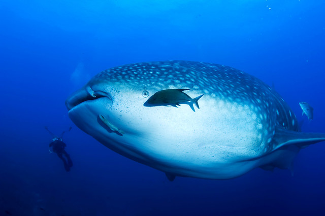 Giant Whale Shark http://www.flickr.com/photos/46787795@N04/4294489310/
