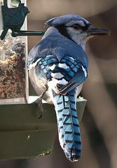 crow-like bird(0.0), animal(1.0), wing(1.0), fauna(1.0), blue(1.0), blue jay(1.0), beak(1.0), bird(1.0),