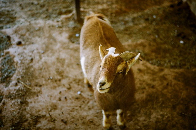 Cutest Goat In The World Flickr Photo Sharing