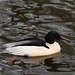 a male Goosander (Swedish: Storskrake)