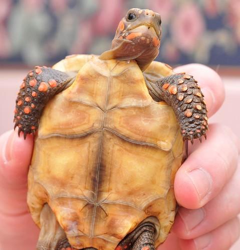 Shell Rot? | Tortoise Forum