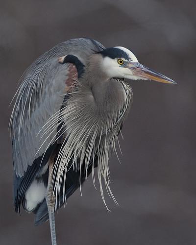 kh0831 birdphoto naturesfinest bird ardea herodias nj