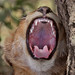 Lion Cub yawning IMG_0951 by WildImages