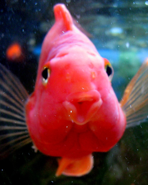 Pucker up and kiss me baby red parrot cichlid explore for Red parrot fish