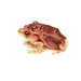 Small photo of Hyperolius sp 1 - amplexus colors