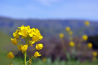 Wild Mustard Flowers