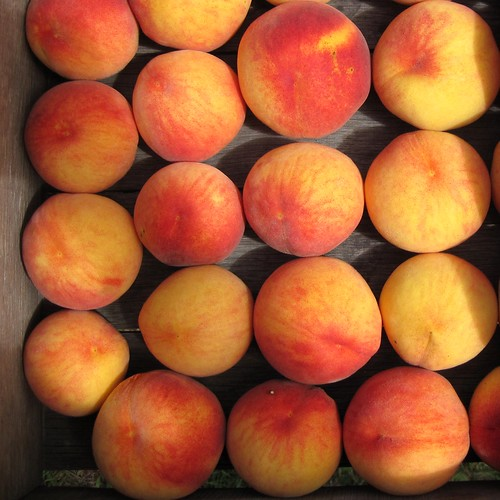 ny newyork fruit colorful peach orchard september rows patterson peaches neat delicate crate 2009 orderly aligned canonpowershotsd1200is
