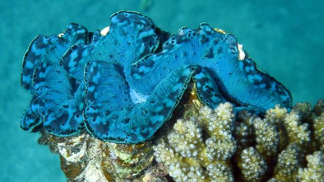 Tridacnidae en los arrecifes de coral de Egipto. Mar Rojo.