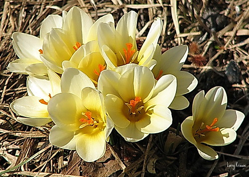 Mellow Yellow Crocuses