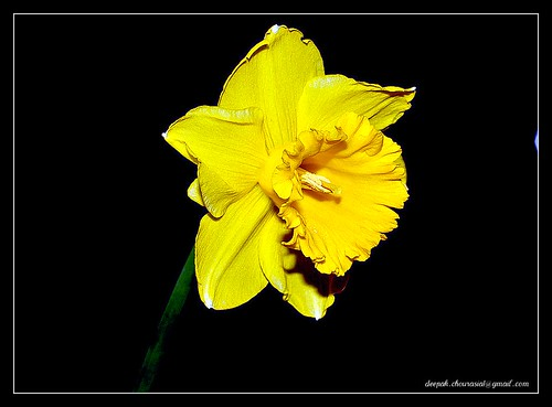 Daffodil this year