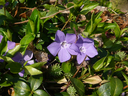 Vinca ground cover