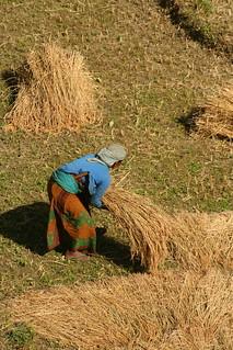 Rice Harvest in Nepal