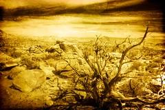 Dead Tree ~ Joshua Tree