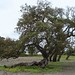 cork oak - Photo (c) Rodrigo Sousa1, some rights reserved (CC BY-NC-SA)