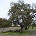 Cork Oak - Photo (c) Rodrigo Sousa1, some rights reserved (CC BY-NC-SA)