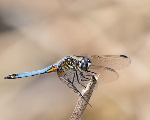 dragonfly © odonata bluedasher goosecreekstatepark garyburke olympus70300mm e620 olympuse620 northcarolinadragonfly