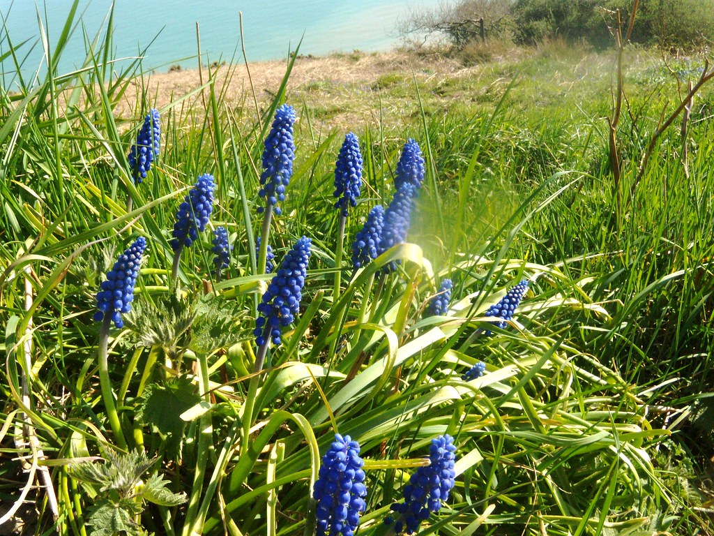 Grape hyacinths Unexplained little clump not near a garden. Perhaps there were gardens here once. Rye to Hastings