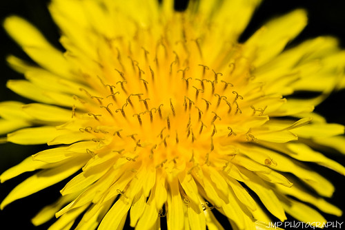 plant flower macro spring weed michigan dandelion wildflower riverview taraxacumofficinale mandj98 jmpphotography jamesmarvinphelps